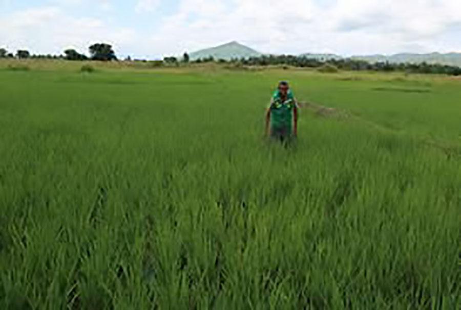Reabilitação de quatro sistemas de irrigação piloto e quatro armazéns de arroz paddy na região Morogoro.